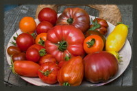 Kolumne Tomaten